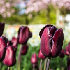 tulipanes | bici