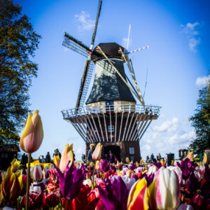 tulipanes| Ámsterdam Countryside | campiña holandesa